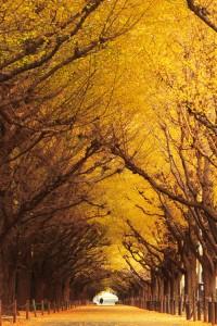 ginkgo-meiji-jingu-autumn-masahiro-hayata1-200x300
