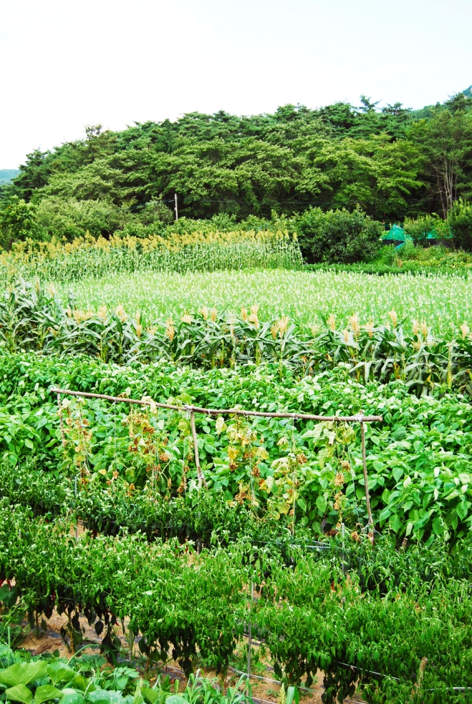 Organic farming in korea beating pesticides parasites and in 1993 the ministry of agriculture forestry and fisheries maff of korea categorized two types of organic farming as narrow and broad platinumwayz